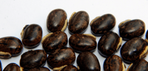 Mucuna-Pruriens-Extracts
