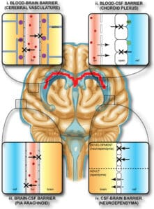 Protective_barriers_of_the_brain_nootropicology